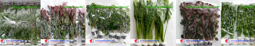 Aquatic plants export from Thailand